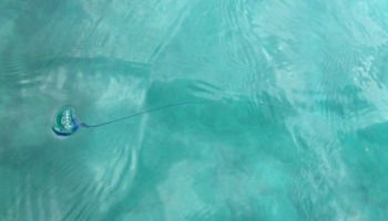 カツオノエボシの画像 p1_3